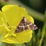5170 – Hawaiian Beet Webworm Moth – Spoladea recurvalis