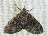 7635 – Olive-and-black Carpet – Acasis viridata
