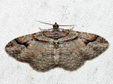 7416 - Bent-line Carpet - Costaconvexa centrostrigaria