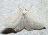 6796 - Pale Beauty - Campaea perlata