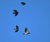 Red-tailed Hawk mobbed by crows