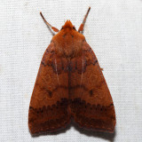 9945 - Footpath Sallow - Metaxaglaea semitaria