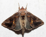 8908 – Common Looper – Autographa precationis