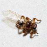 Louse Flies - Hippoboscidae