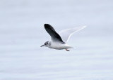 Little Gull - Hydrocoloeus minutus