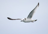 Black-legged Kittiwake - Rissa tridactyla (immature)