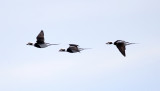 Long-tailed Ducks - Clangula hyemalis