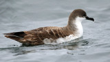 Great Shearwater - Puffinus gravis