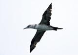 Northern Gannet - Morus bassanus