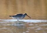 Shorebirds genus Limosa