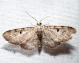 7474 - Common Eupithecia - Eupithecia miserulata (m)
