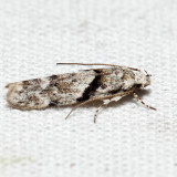 1851 – Stripe-backed Moth – Arogalea cristifasciella