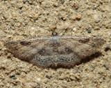 7140 – Cyclophora nanaria