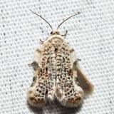 3526 – Speckled Acleris – Acleris negundana