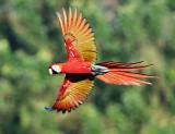 Costa Rican Parrots
