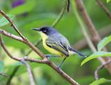Costa Rican Flycatchers