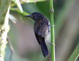 Costa Rican Antbirds & Antshrikes