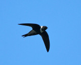 Costa Rican Swallows & Swifts