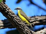 Social Flycatcher - Myiozetetes similis