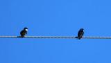 Blue and White Swallows - Pygochelidon cyanoleuca