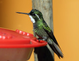 White-throated Mountain-gem - Lampornis castaneoventris