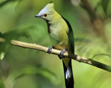 Long-tailed Silky-flycatcher - Ptiliogonys caudatus