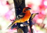 Flame-colored Tanager - Piranga bidentata