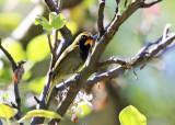 Yellow-faced Grassquit - Tiaris olivaceus