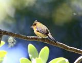 Tufted Flycatcher - Mitrephanes phaeocercus