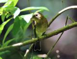Tropical Pewee - Contopus cinereus