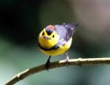 Collared Redstart - Myioborus torquatus
