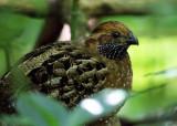 Spotted Wood-Quail - Odontophorus guttatus