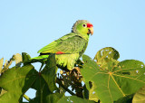 Red-lored Parrot - Amazona autumnalis