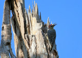 Red-crowned Woodpecker - Melanerpes rubricapillus