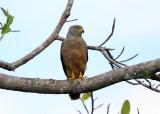 Roadside Hawk - Rupornis magnirostris