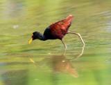 Costa Rican Shorebirds