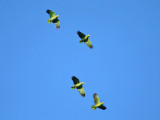 Red-lored Parrots - Amazona autumnalis