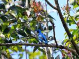 Turquoise Cotinga - Cotinga ridgwayi