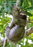 Three-Toed Sloth - Bradypus variegatus