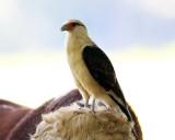 Yellow-headed Caracara - Milvago chimachima