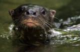 Neotropical River Otter - Lontra longicaudis