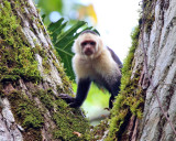 White-faced Capuchin - Cebus capucinus