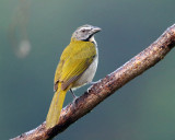 Costa Rican Saltators & Grosbeaks