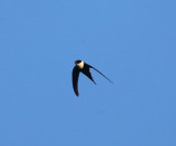 Lesser Swallow-tailed Swift - Panyptila cayennensis