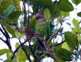 Brown-hooded Parrot - Pyrilia haematotis