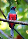 Costa Rican Trogons