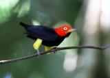 Costa Rican Small Birds
