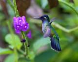 Violet-headed Hummingbird - Klais guimeti