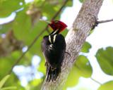 Pale-billed Woodpecker - Campephilus guatemalensis