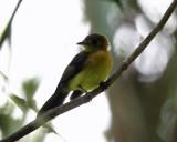 Sulphur-rumped Flycatcher - Myiobius sulphureipygius